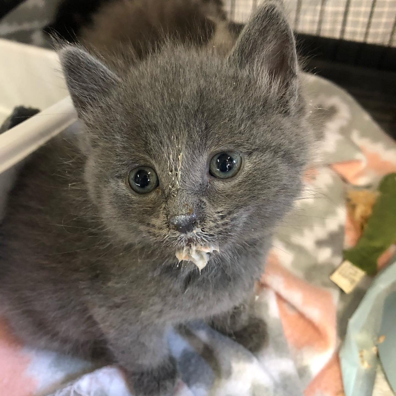 gray kitten with milk on face