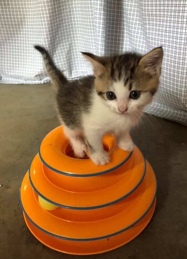 kitten on top of toy